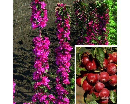 Яблоня Манящий аромат