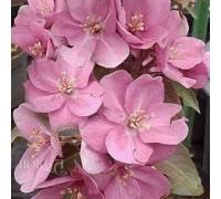 Яблоня Розовая сказка