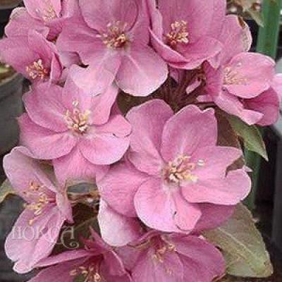 Саженцы Яблоня Розовая сказка