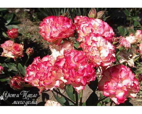 Роза Испанский Танец