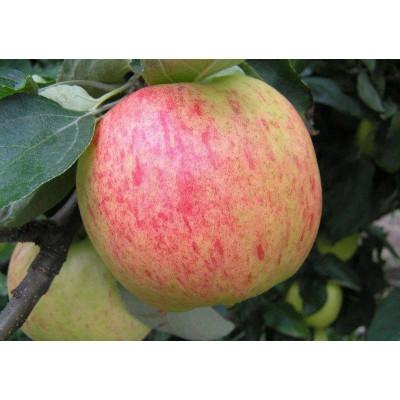 Саженцы Яблоня Яблочный Спас