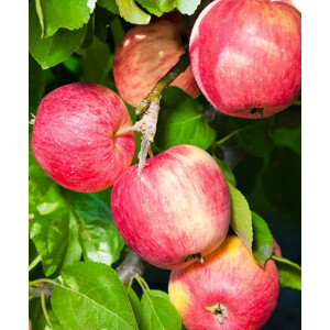 Яблоня Розочка