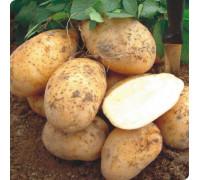 Картофель Колетте (15 шт)