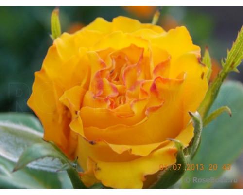 Роза Керио