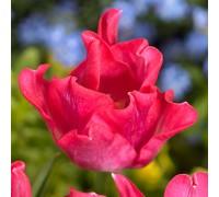 Тюльпан Либерстар
