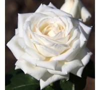 Роза Ломоносов