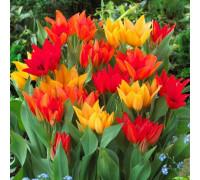 Набор Многоцветковые (3 сорта по 1 шт)