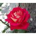 Роза Нью Фешн