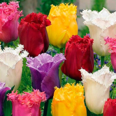 Набор Бахромчатые Тюльпаны (3 сорта по 1 шт)