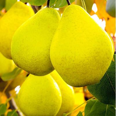 Саженцы Груша Лимонадная