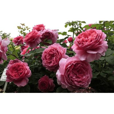 Роза Принцесса Александра