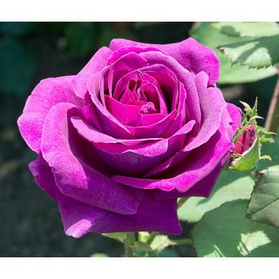 Роза Парфюм де Рев