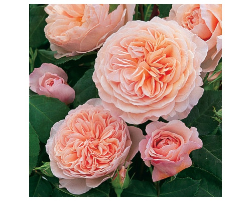 Роза Джулиет