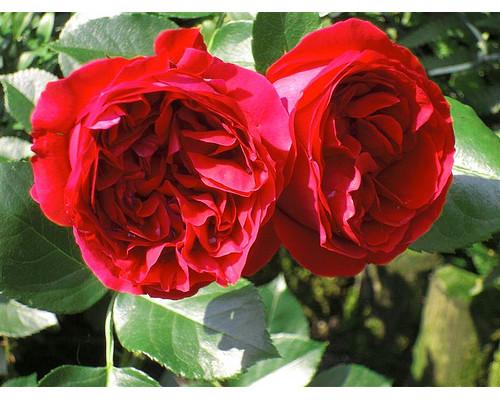 Роза Ред Иден Роуз