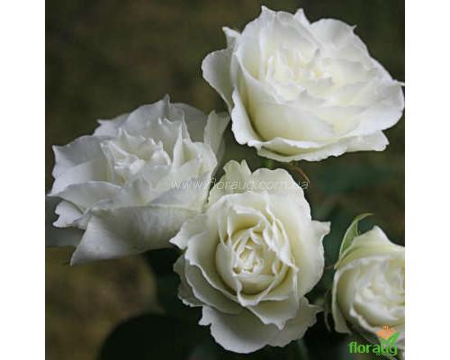 Роза Вивиана