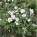 Роза ругоза Альба