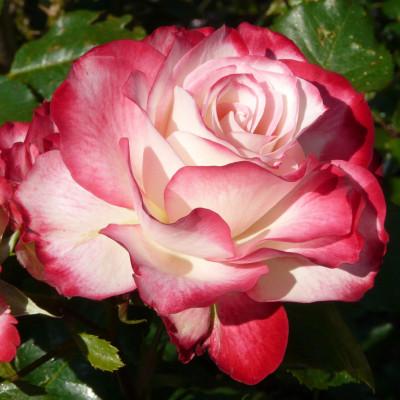Роза Юбилей принц Монако