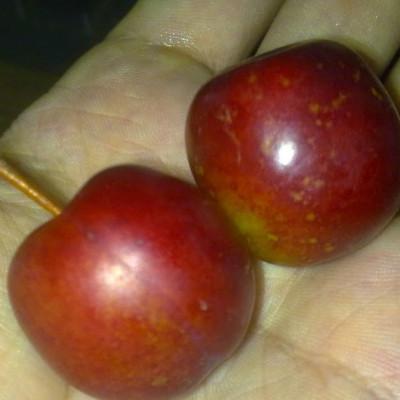 Саженцы Сливово-вишневый гибрид Самоцвет