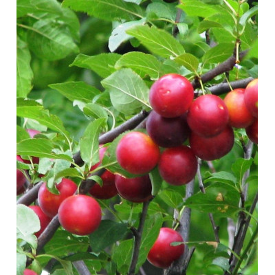 Саженцы Сливово-вишневый гибрид Опата