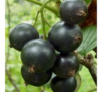 Смородина черная Геркулес