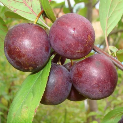 Саженцы Сливово-вишневый гибрид Мейнор