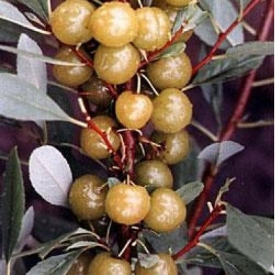 Саженцы Сливово-вишневый гибрид Пирамидальный