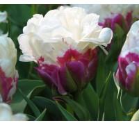 Тюльпан Дабл Полар - R
