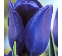 Тюльпан Блу Эмбл
