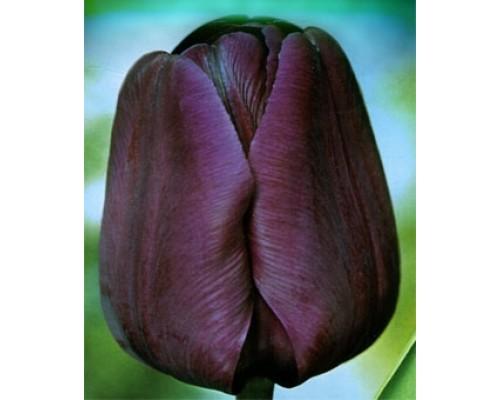 Тюльпан Негрита