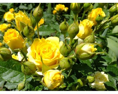 Роза Золотые купола