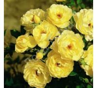 Роза Зоненширм